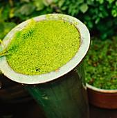 Green aquatic plant on pot, close-up