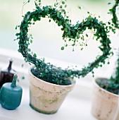 A plant shaped as a heart.