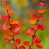 Autumn coloured birch leaves, close-up.
