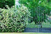 White-flowering hedge next to tall, wrought iron garden gate