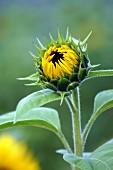 Opening sunflower bud