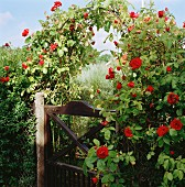 Flowering rose on trellis archway over garden gate