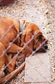 A Farm Hound Dog