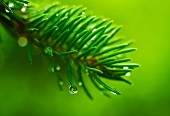 Droplets of water on conifer needles against green background