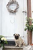 Pug siting on steps below willow wreath on front door