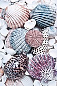 An arrangement of Conch, cockle, scallop and sand dollar seashells