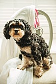 Black and tan Cavapoo puppy on a Nordic chair with love hearts, near a window