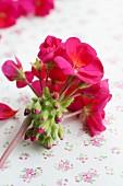 Pink geranium flower and buds