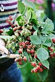 Gardener holding branches of blackberries