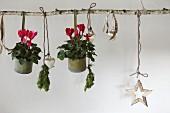 An Birkenast aufghängte Metalltöpfchen mit roten Alpenveilchen und Weihnachtsschmuck