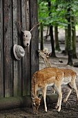 Deer standing next to crocheted deer head with twig antlers and hat on wooden wall