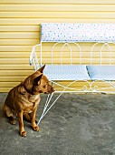 Dog sitting on concrete floor next to delicate garden bench made from white-painted metal against yellow wooden wall