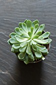 Succulent in a pot viewed from above