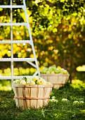 Frisch gepflückte Äpfel in Körben auf der Wiese