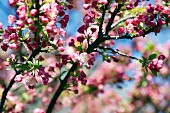 Blooming Crabapple Tree