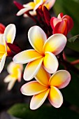 Blooming Plumeria