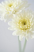 Two White Chrysanthemum Flowers, High Angle View, Close-Up
