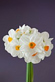 Bouquet of White Daffodils on Purple Background