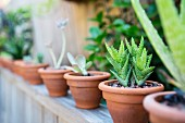 Row of succulents in terracotta pots