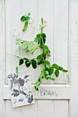 Pea shoot & copy of nostalgic botanical illustration on white wooden wall