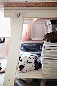 Sleepy Dalmatian with head on bottom shelf of table with white frame