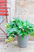 Hydrangea in old enamel bucket in front of rustic concrete wall and red garden chair