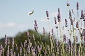 Schmetterling und Lavendelfeld mit blauem Himmel
