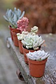 Various potted succulents