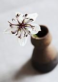 White, star-shaped Nigella (variety 'Musical Prelude') in ceramic vase