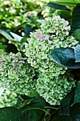 Green hydrangea in garden (close-up)