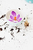Purple crocus flower in white ceramic bowl and soil scattered on white surface