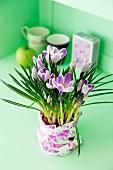 Lila blühende Krokusse in mit Geschenkpapier umwickeltem Pflanzgefäß vor lindgrünem Hintergrund