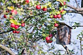 Ripe apples and nesting box hanging from large branch