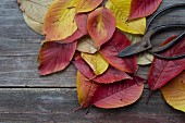 Autumnal cherry leaves and vintage garden shears