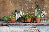 Plastic bottles with bottoms removed and tags on necks covering lettuce seedlings in terracotta pots
