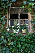 Old stable window with broken panes surrounded by ivy with planters on windowsill