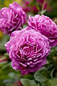 Magenta flowers of English shrub rose 'Young Lycidas'