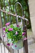 Violette Blumen in verzinktem Topf an altes Metallgitter aufgehängt