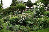 Üppig blühendes Rosenbeet im Garten