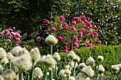 Pinkfarbene und violette Rosen hinter Buchsgrenze; weisse Blütenstände im Vordergrund