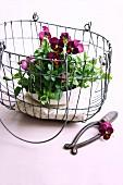 Purple violas in wire basket