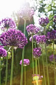 Flowering alliums with sunlight effects