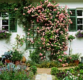 Cottage garden & abundantly flowering climbing rose on trellis on house facade
