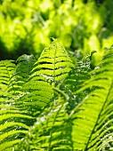 Ferns in sunny garden (close-up)