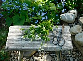 Freshly gathered sweet woodruff and scissors on wooden footstool