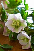 Pale pink hellebores on wooden surface