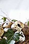 Quails' eggs and ivy leaves in straw nest
