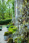 Boxwood in metal pots on a gravel surface and wisteria on the façade of an old French country house