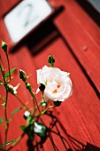 Branch of white-flowering rose against blurred background of falu red wooden house