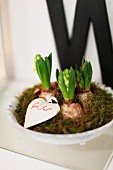 Hyacinths amongst moss in white bowl with Christmas greeting on small card